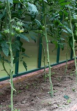 уход за томатами в июле К моменту вырастания плодов в первой кисти обычно заканчивают удаление всех листьев