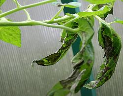 первые признаки фитофтороза - бурые пятна на листьях