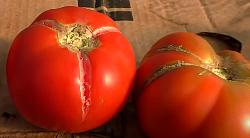 почему трескаются помидоры при созревании с огромными трещинами