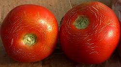 почему трескаются помидоры вот такими мелкими трещинами