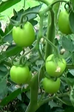подкормка томатов бором