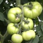 подкормка томатов калием