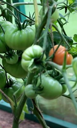 томаты в июле в теплице фото